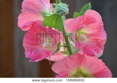 Blooming pink hollyhock flower blossoms on a vine
