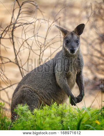 The swamp wallaby (Wallabia bicolor) near a green bush