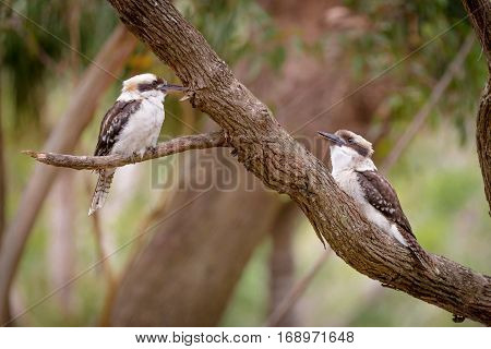 two kookaburras sitting in a gum tree
