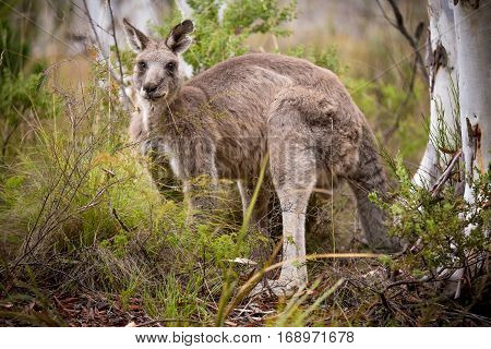 grey kangaroo feeding near a tree (macropus giganteus)