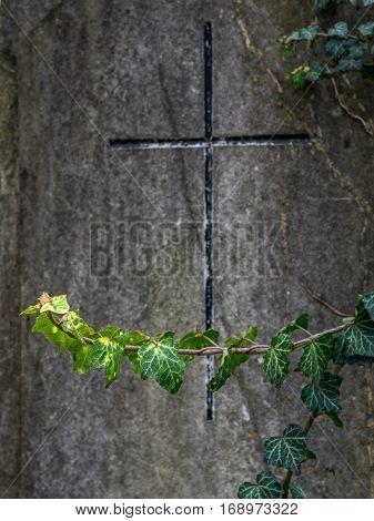 ivy on a grave stone at cemetery