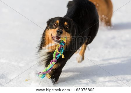 Dog With A Toy In The Snout In The Snow