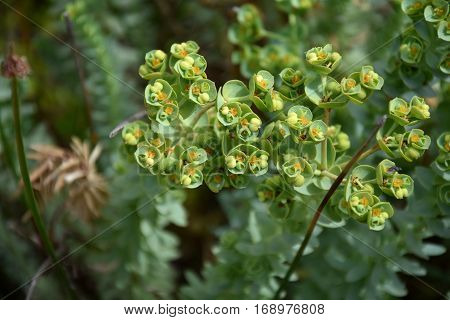 Euphorbia helioscopia - a spurge plant also known as Sun Spurge Umbrella Milkweed Wart Spurge and Madwoman's milk. Spurge flowers (Euphorbia Amygdaloides). Beautiful green plant blooming in summer.
