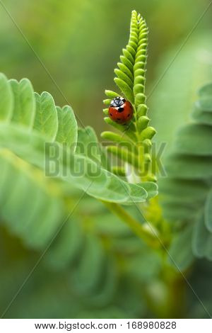 Red Lady Bug insect in green lush ferns nature background vertical