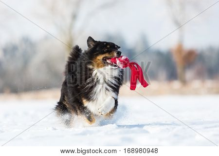 Australian Shepherd dog with a toy in the snout running in the snow
