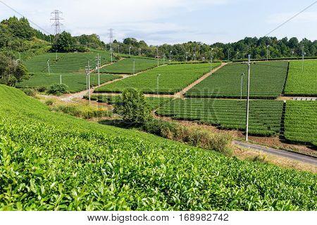 Fresh green tea farm