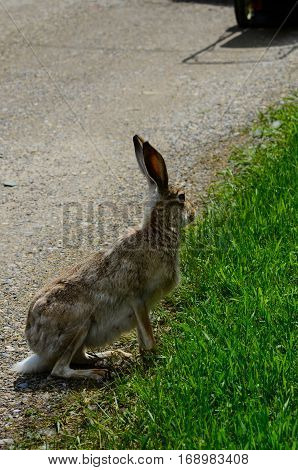 Hare on a gravel path in the summer close up