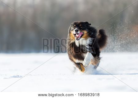 Dog Is Running In The Snow