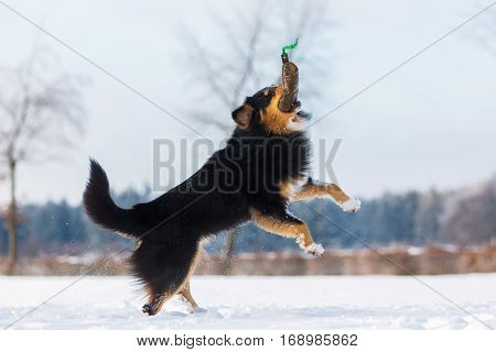 Dog Jumps For A Treat Bag In Snow