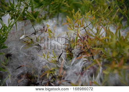 Stipa or feather grass close up background. Hairy plant hairy plant family macro nature background white.