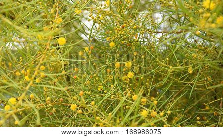 Cluster of yellow flowers and leaves. Background Wild Spring Yellow Flowers.