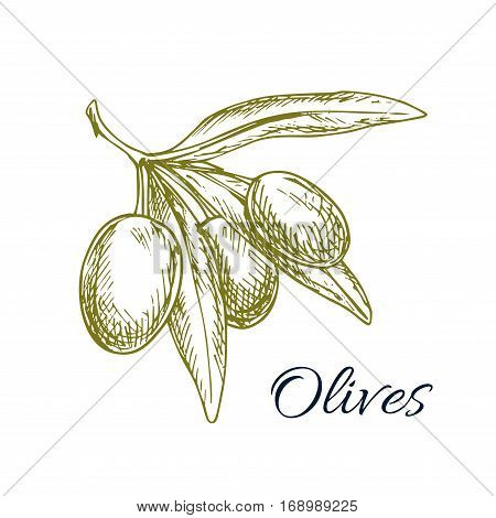 Vector sketch of green olive bunch. Icon of branch with green olives. Vector isolated design for olive oil label, vegetarian vegetable food salad ingredient and seasoning. Olive tree symbol for Italian, Mediterranean, Greek or Spanish cuisine