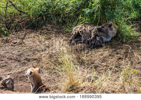 Spotted hyena feeding her milk your puppy. Kruger National Park, South Africa
