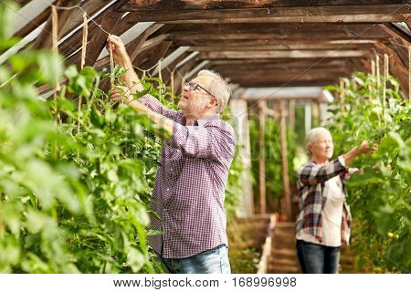 farming, gardening, old age and people concept - senior man and woman tying up tomatoe seedlings at greenhouse on farm