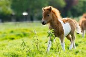 Cute shetland foal walking throguh the meadow exploring the world. poster
