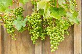 closeup of unripe Sauvignon Blanc grapes on vine poster
