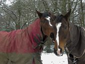 Warmblood and thoroughbred horses standing together in snow wearing rugs poster