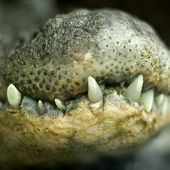 Close up photograph of the theet and the jaw of a crocodile poster