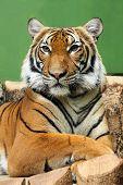 Tiger in ZOO Prague - Czech Republic Europe poster