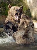 Brown Bear (Ursus arctos) in National Park Bavarian Forest - Germany Europe poster