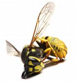 Close-up of a dead Yellow Jacket Wasp - environmental metaphor poster
