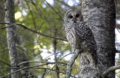 A barred owl rests in a tree in the Cascade Mountains of Washington state. poster
