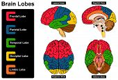 Human Brain Anatomy Set of Lateral Sagittal Superior and Inferior Views with all lobes Frontal Parietal Temporal Occipital Limbic anatomical science education nervous system route spinal cord start poster