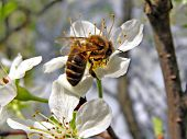 insect on flower plum poster