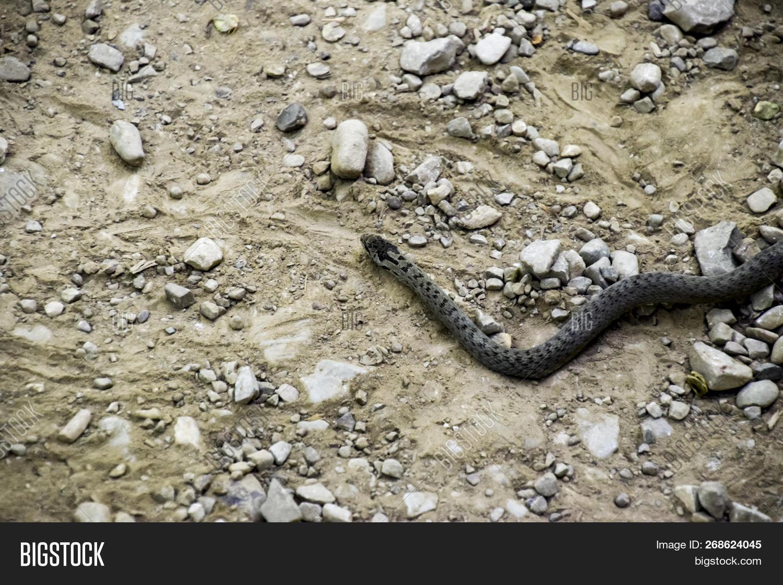 Viper Ordinary Snake Image Photo Free Trial Bigstock