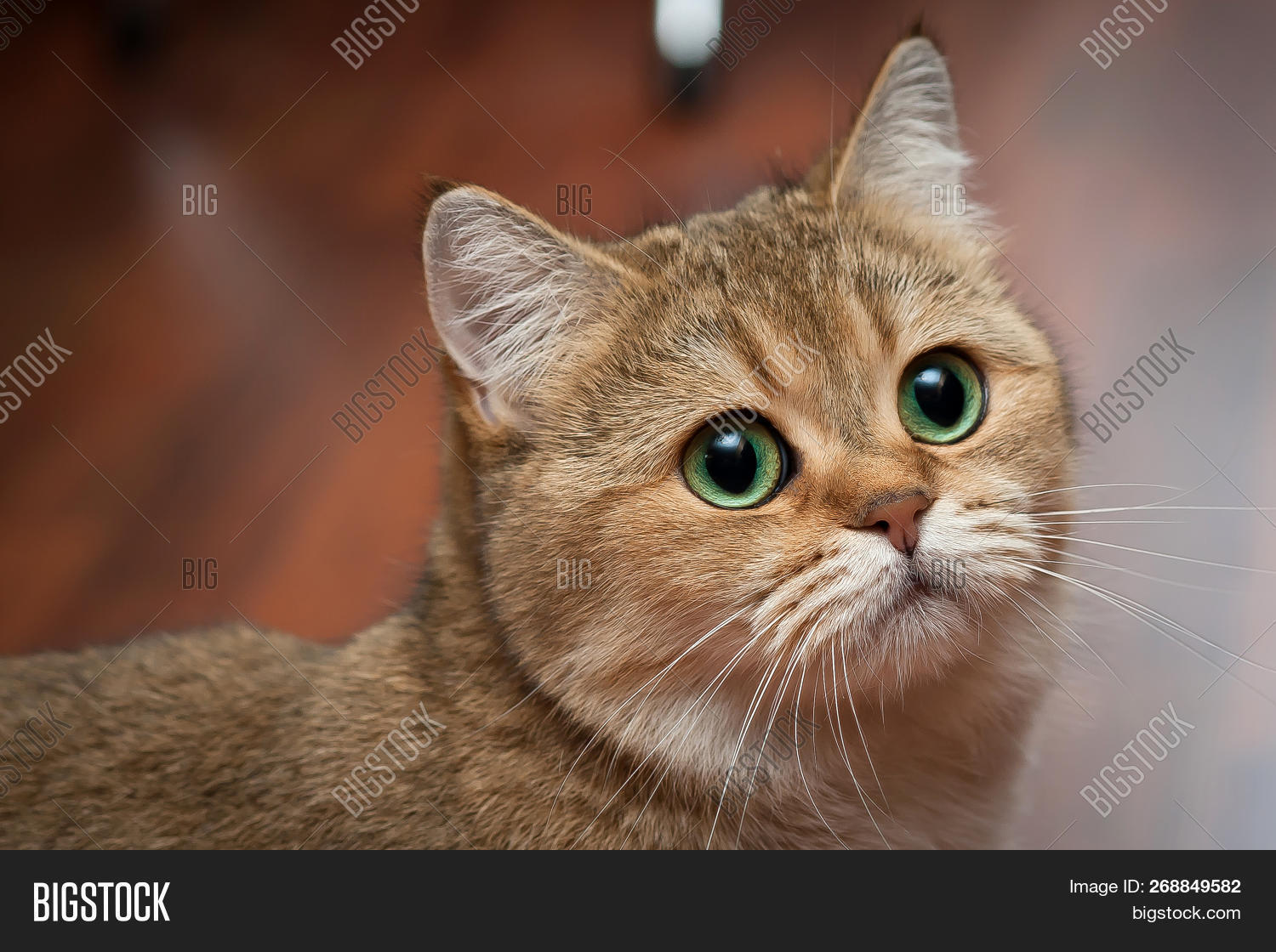 Golden British Cat Image & Photo (Free Trial) | Bigstock