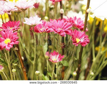 Closeup African Daisy ,transvaal Daisy ,gerbera Veridijolia Pink Purple Yellow White Flower On Black
