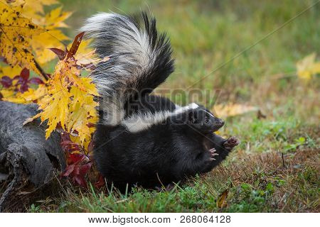 Striped Skunk (mephitis Mephitis) Stomps Feet To Right Tail Up - Captive Animal