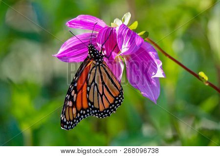 Beautiful Monarch Butterfly Feeding On A Pink Dahlia In The Sunlight