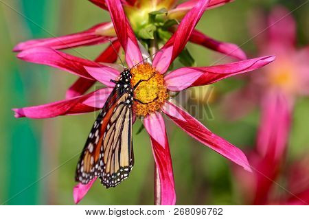 Beautiful Monarch Butterfly On Red Dahlia With Colorful Background, Isolated, Closeup