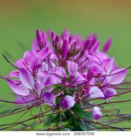 Lavender Spider Flower, Cleome, Closeup, Macro, Summer, Spring