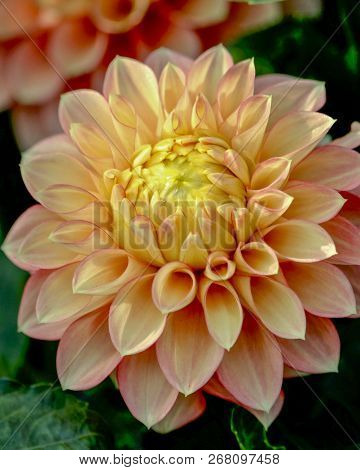 Peach And Yellow Dahlia Flower, Isolated, Closeup