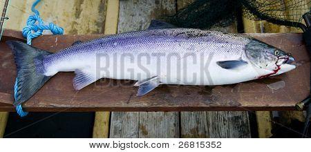 Wild Atlantic Salmon