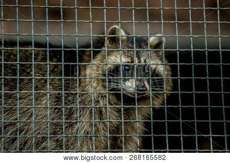 Common Raccoon, Procyon Lotor, Omnivorous Animal With Grey And Brown Fur, Black Eyes And Mask Around