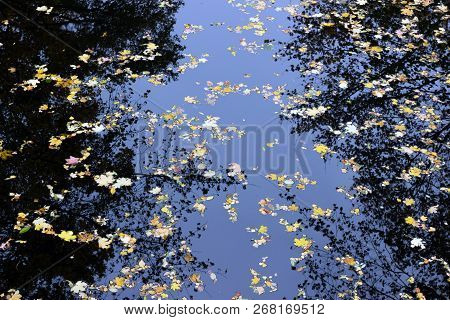 Autumn Maple Leaves In Puddle Of Water. Puddle Water Autumn Maple Leaves. Autumn Maple Leaves In Wat