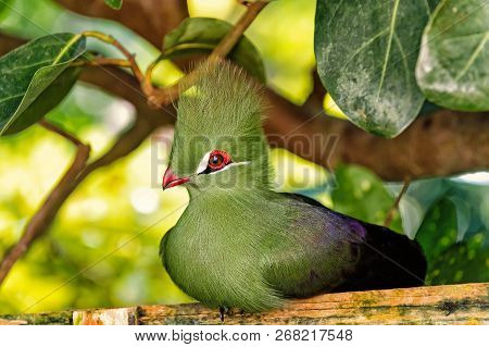 Bird, small animal, with red beak, greeny tuft and feathers sitting on wooden perch in forest with green leaves trees on sunny summer day on natural background. Wildlife and nature. Ornithology poster