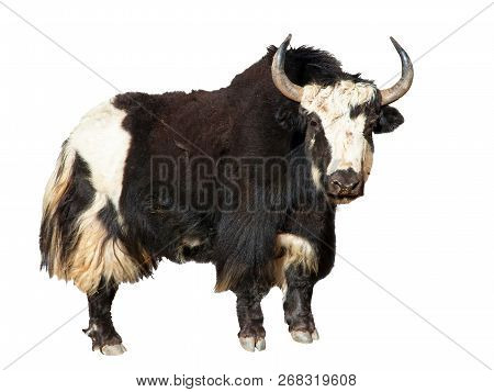 Black And White Yak (bos Grunniens Or Bos Mutus) Isolated On White Background, Yaks Are Farm And Car