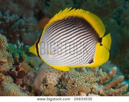 Reef fish blackbacked butterflyfish