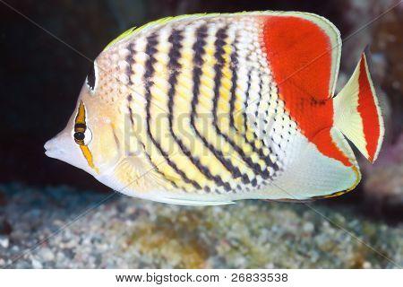 Reef fish Eritrean butterflyfish