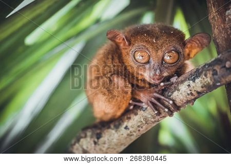 Endangered Tarsier in Bohol Tarsier sanctuary, Cebu, Philippines. Cute Tarsius monkey with big eyes sitting on a branch with green leaves. The smallest primate Carlito syrichta in nature.