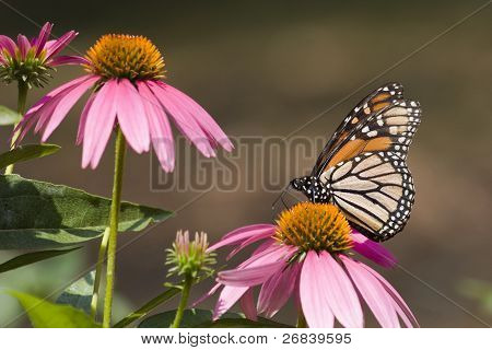 Monarch Butterfly on Cone Flowers