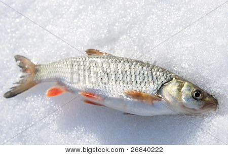Silver chub with red fins on shiny snow