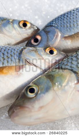 Shot of fishes, stress on eyes