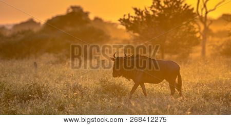 Savanna bush back lit by Orange morning light with Common Blue Wildebeest or Brindled Gnu (Connochaetes taurinus) walking by on famous S100 road in Kruger national park South Africa poster