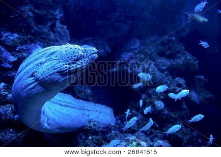 Giant moray eel going out for a hunt. Dramatic deepwater light