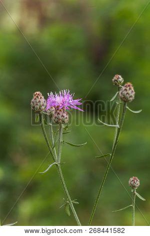 Centaurea Scabiosa, A Big Knapweed Purple Flower, Looks Like A Thistle.